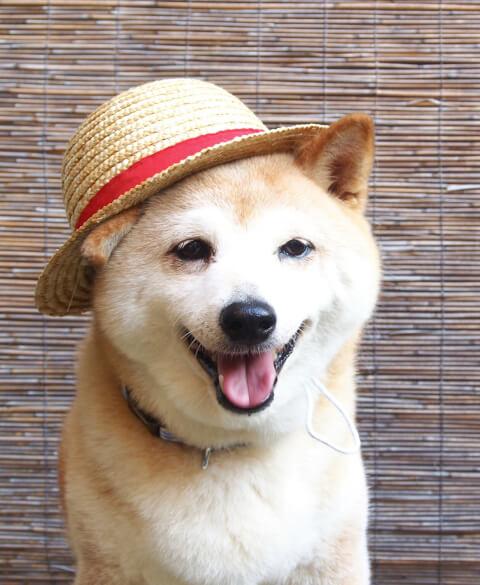 麦わら帽子の柴犬