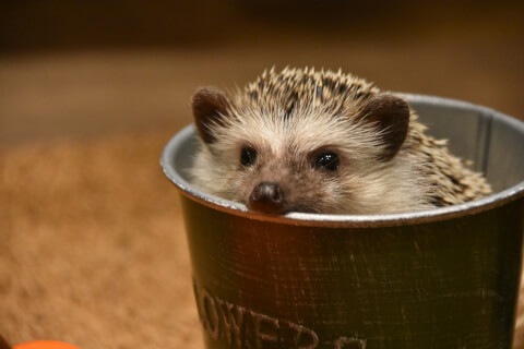 hedgehog_in_cap