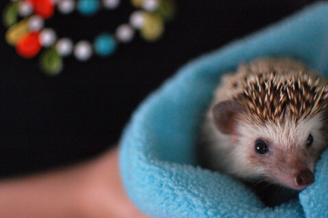 hedgehog_prices_are_not_cheap