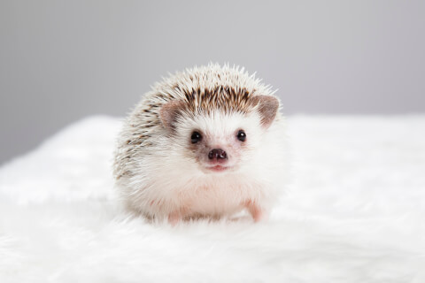 hedgehog_type_and_price