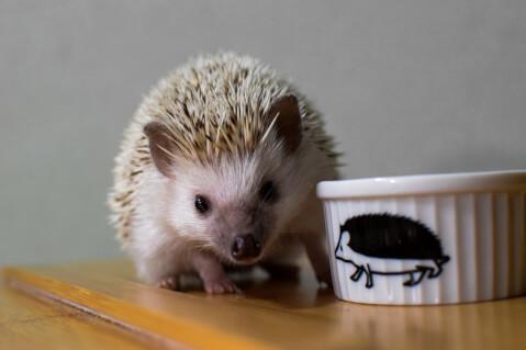 hegghogg ハリネズミ 小動物 ペット