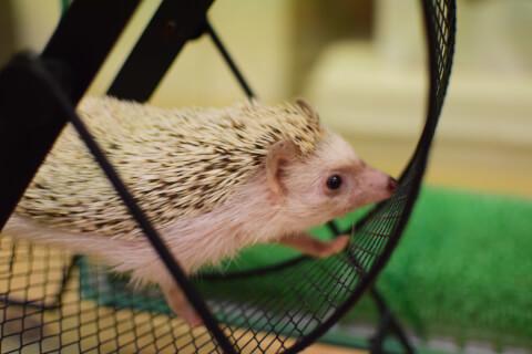 ハリネズミ 小動物 ペット