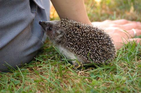 hedgehogs_lifespan_and_price