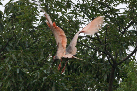 history_of_protecting_crested_ibis