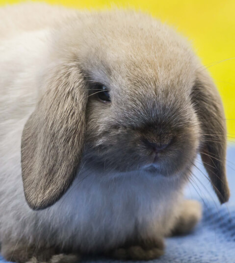 holland_lop1