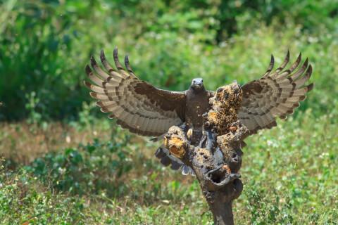ハチクマ 飼育 鳴き声 スズメバチ 鳥 幼鳥