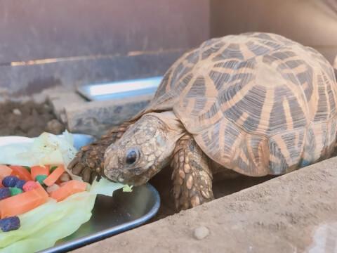 食事するインドホシガメ