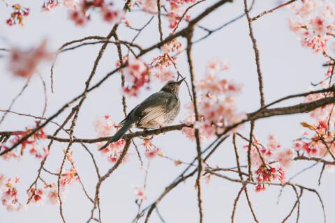 ホトトギス 鳴き声 季節 カッコウ 特徴 由来