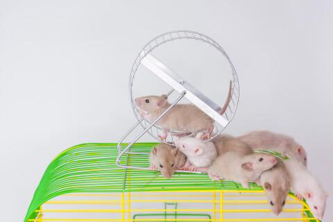 ハツカネズミ 由来 販売 ペット 繁殖 餌 寿命 フン 知能