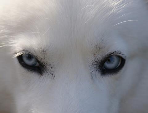 husky__4