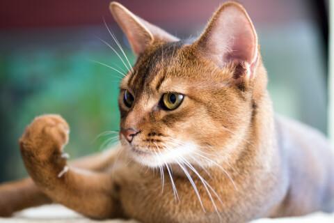 アビシニアン フォーン 子猫 鳴き声 猫 ソマリ 寿命 性格