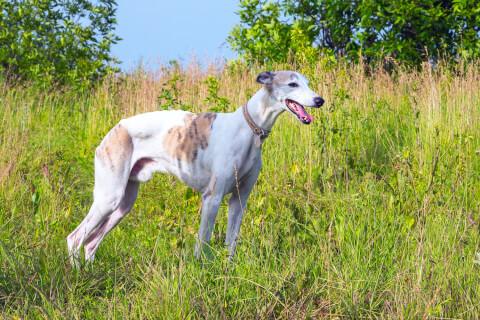 草むらにいるイングリッシュ・グレイハウンド