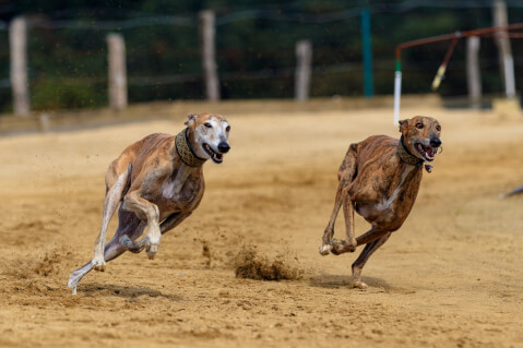 走る2頭のイングリッシュ・グレイハウンド