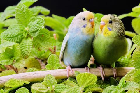ミントの葉とセキセイインコ2羽