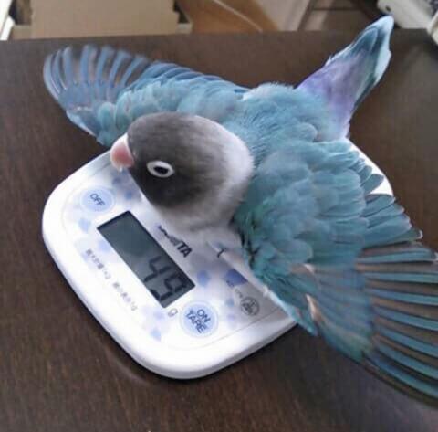 体重をはかるボタンインコ