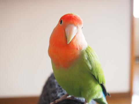 放鳥中のコザクラインコ
