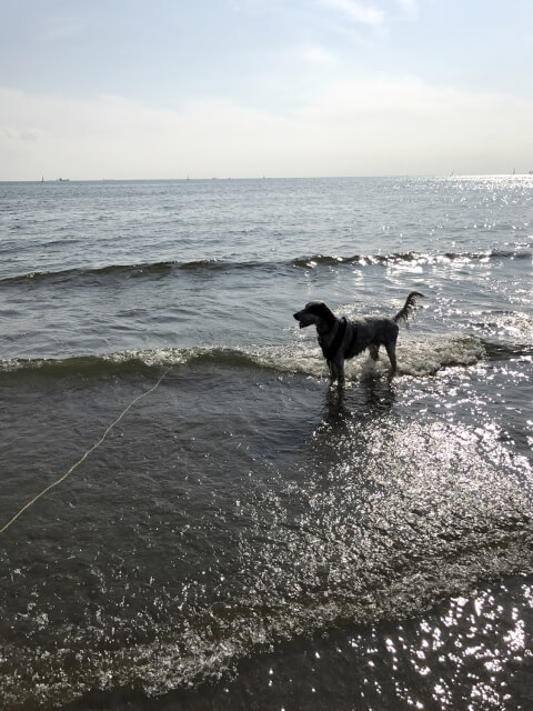 海とイングリッシュセター