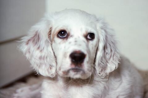 白いイングリッシュセターの子犬