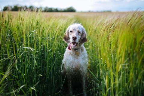 草原とイングリッシュセター