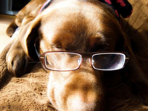 メガネをかける犬