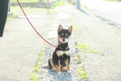 始めて散歩に行く黒柴の子犬