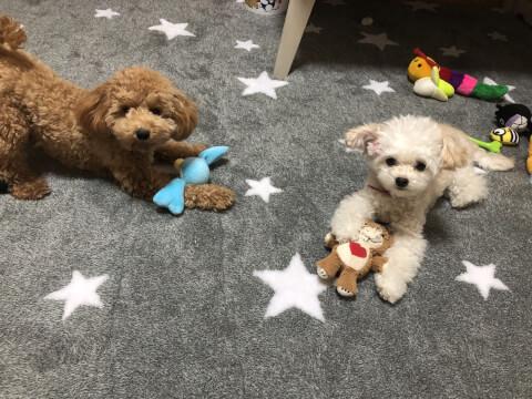 トイプードルの子犬2匹