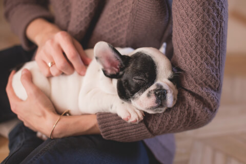 人の腕の中で眠るブルドッグ