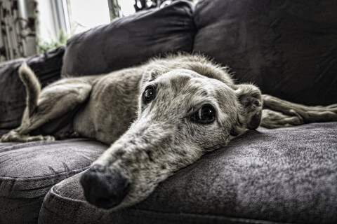 ソファーで休む室内犬