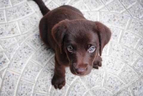 見上げるレトリーバーの子犬