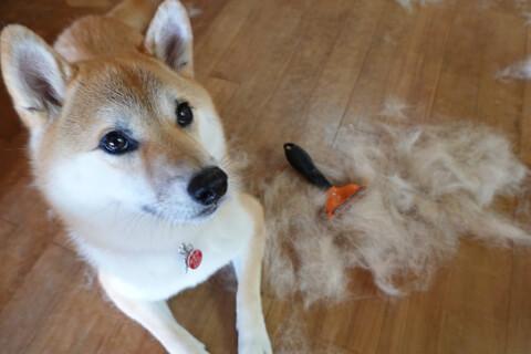 換毛期の柴犬