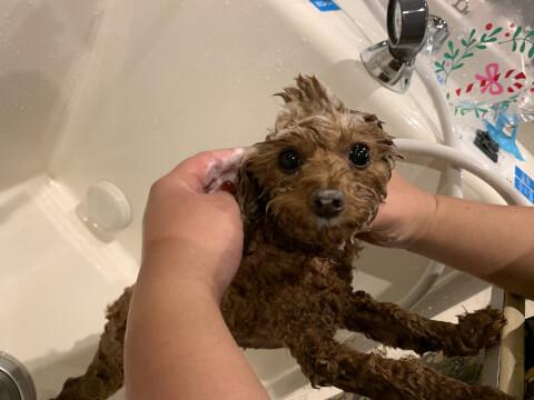 シャワーを浴びたプードル