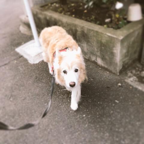 散歩する老犬