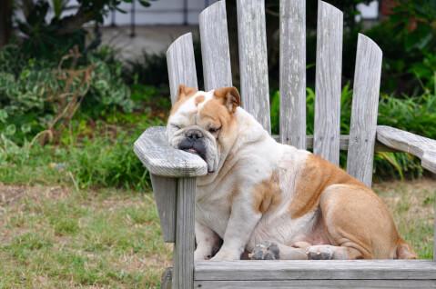 眠るしわしわ顔のブルドッグ