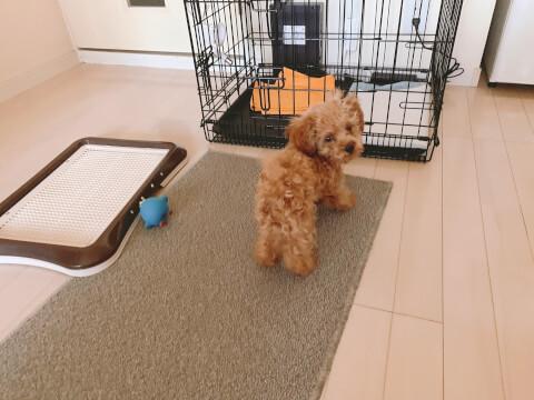 トイレの近くにいるトイプードルの子犬