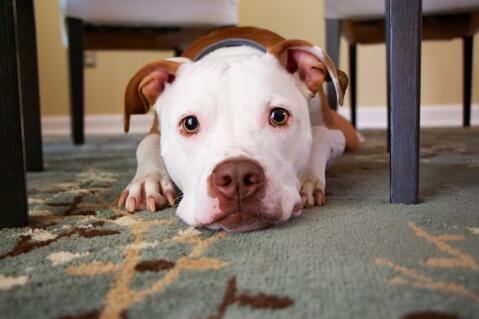 たれ耳で白茶の子犬