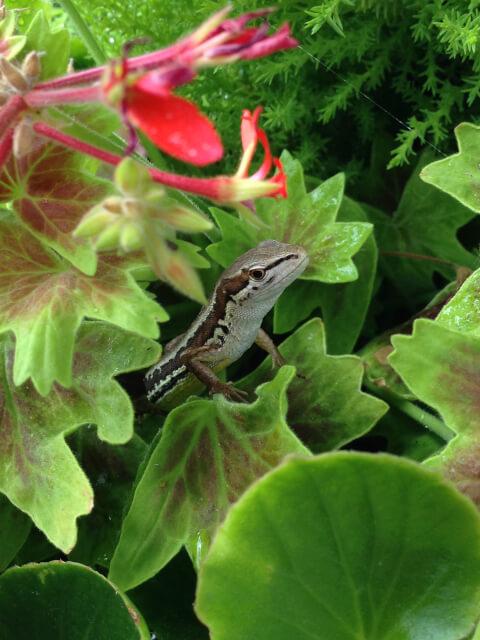 観葉植物から顔をだすニホントカゲ