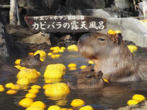 shyaboten_kapibara