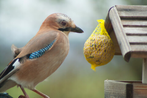 カケス 鳴き真似 羽根 鳴き声 特徴 鳥