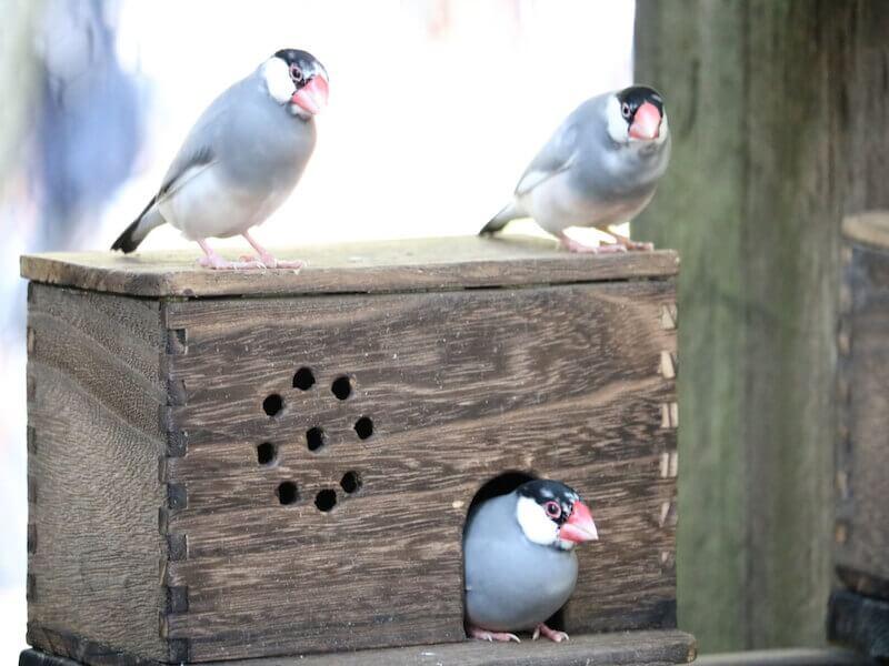 メス 文鳥