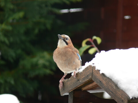 雪の上のカケス