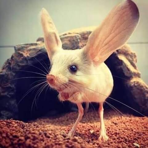 大きな耳のトビネズミ