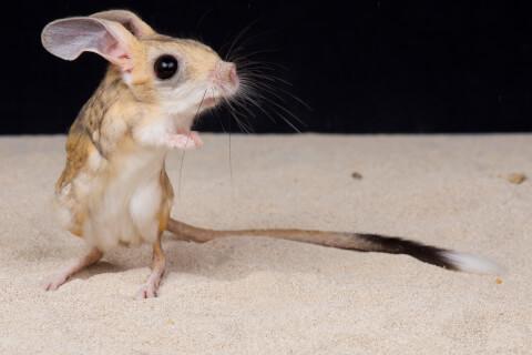 しっぽが目立つトビネズミ