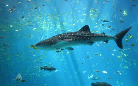 たくさんの魚とジンベエザメの全身