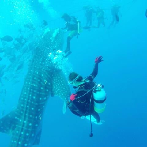 ジンベエザメとたくさんのダイバー