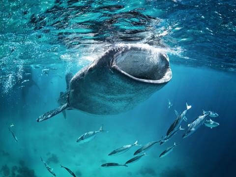ジンベイザメの特徴、動物園