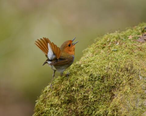 コマドリ 鳴き声 卵 生態 特徴