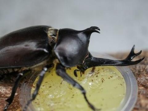 エサを食べるカブトムシ