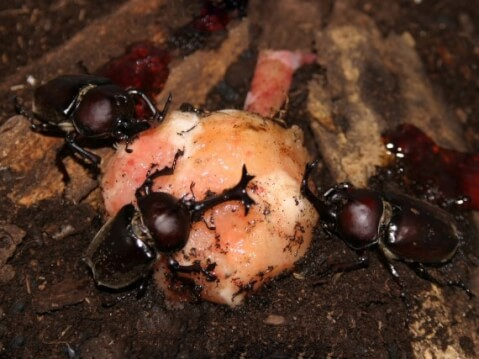 複数のカブトムシ