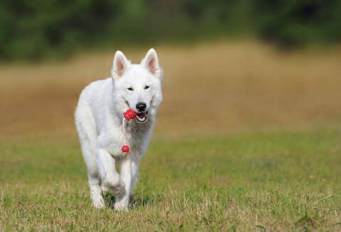 甲斐犬 犬 人気 犬種 種類 大型 名前 小型 体重 寿命