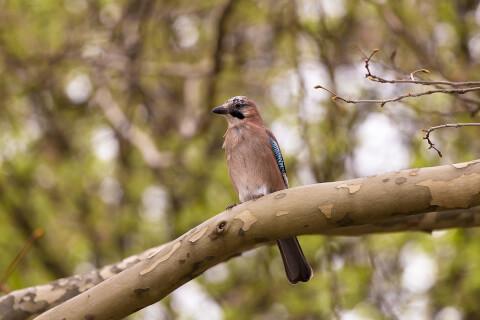 カケス 日本 野鳥 種類 鳴き声 青 一覧